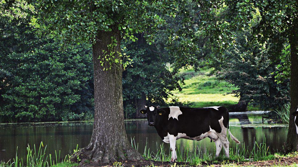 Süt ineklerinde ve sığırlarda profilaksi