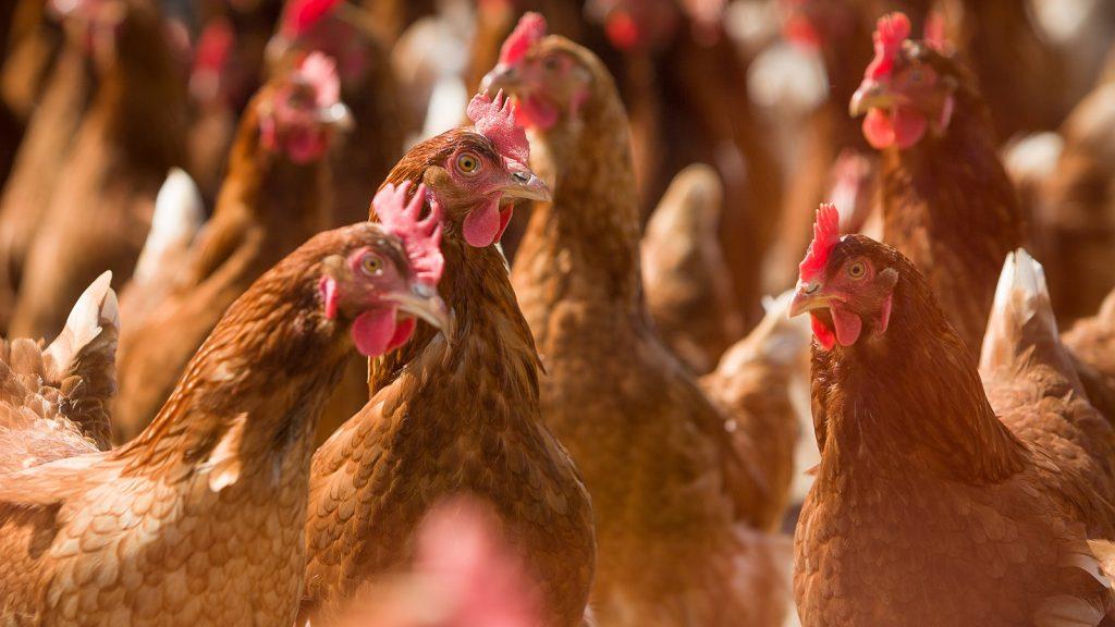 Histomonosis yumurtacı tavuklarda üretimin azalmasına neden oluyor