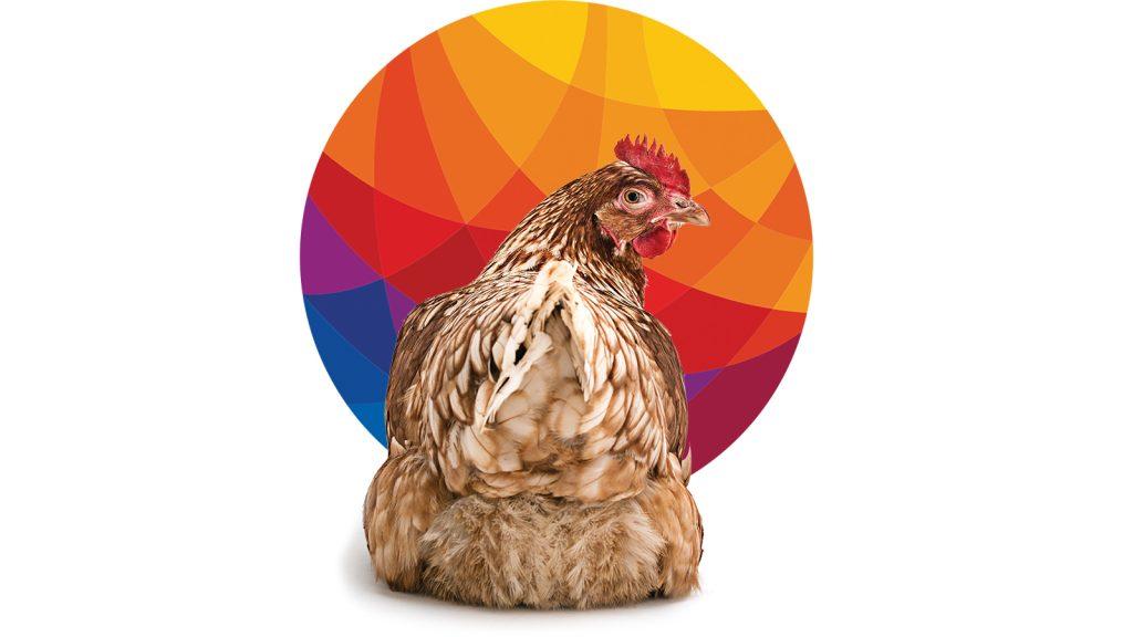 BRF, Salmonella nedeniyle tavuklarını  geri çağırdı