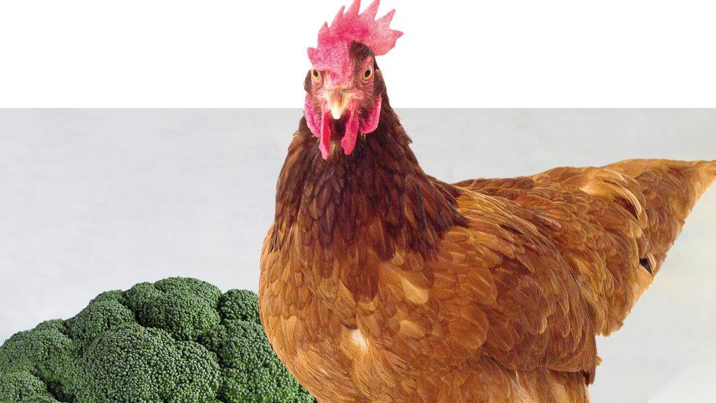 Brokoli, kanatlı rasyonları için mükemmel bir seçenek