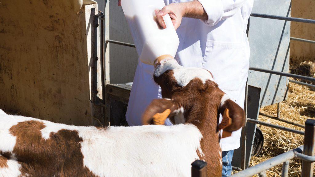 Sütle beslenen buzağılar: Biberon mu, kova mı?