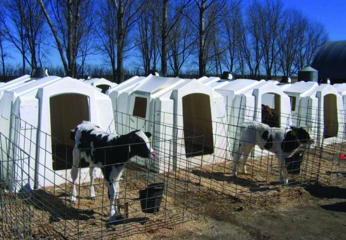 Sütçü ineklerde tuz zehirlenmesine dikkat!