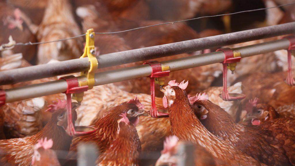 Asidifikasyon ile tavukların içme suyu kalitesi nasıl yükseltilebilir?