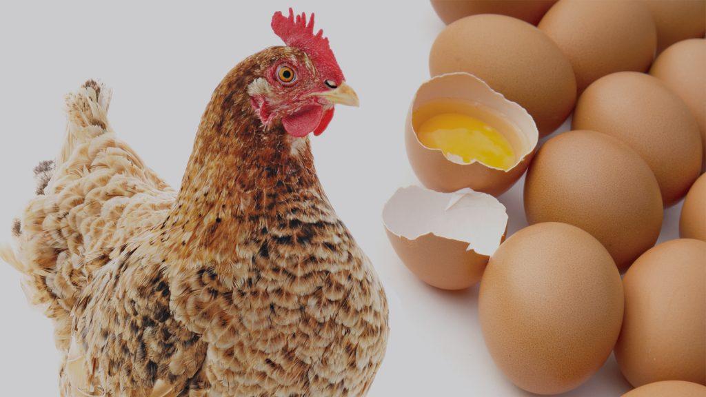 Yumurta tavuklarında split besleme