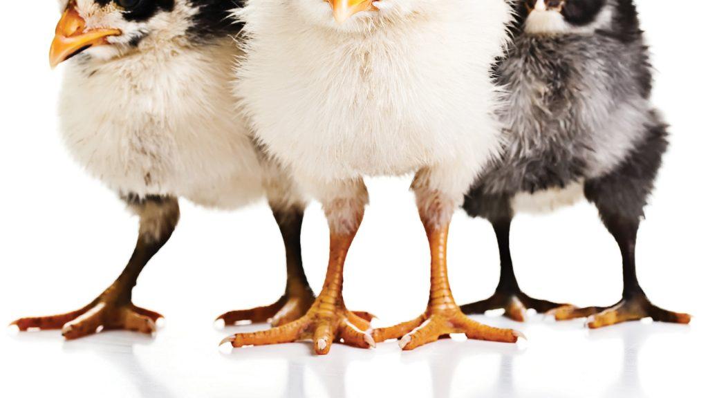 Foot Pad Dermatitis'in önüne nasıl geçilir?
