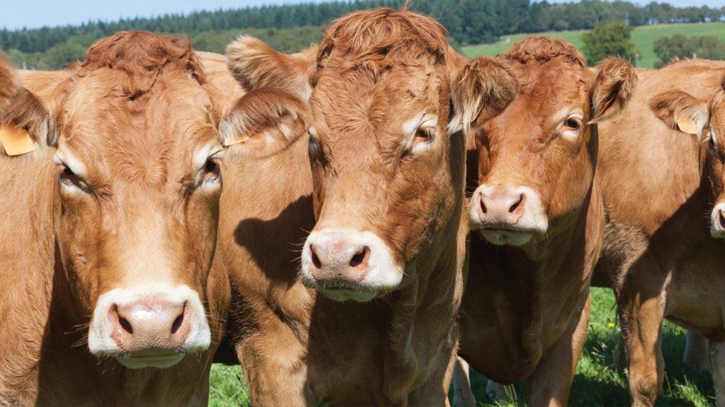 Bakanlık, besilik hayvan ithalatına sınırlama getirdi