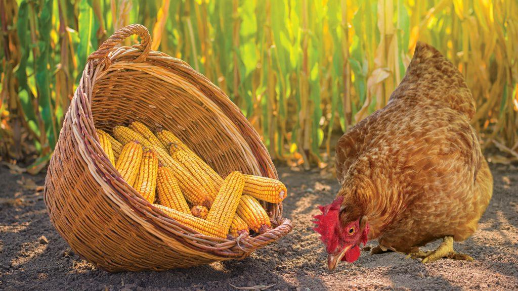 Yumurta üreticilerine 90 gün vadeli vade farksızmısır satışı