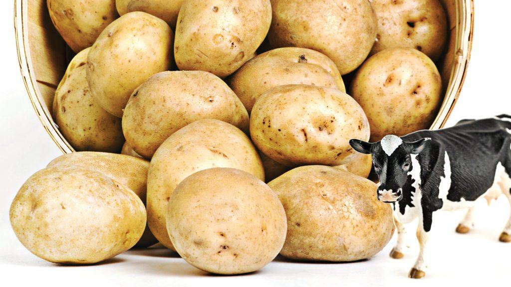 Enerjiden zengin bir besleme şekli: patates beslemesi