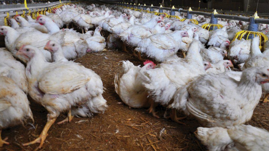 Altlık yönetimi ile kümes hayvanlarının sağlığı ve refahı  nasıl iyileştirilebilir?