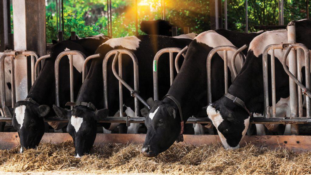 Süt ineklerinde sıcak stresinin etkileri ve kontrol yöntemleri