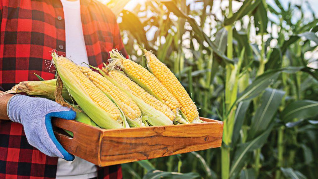 Toprak Mahsulleri Ofisi (TMO)'dan mısır satış fiyatı ile ilgili açıklama geldi