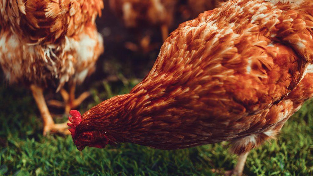 ABF* sonrası hayvan dayanıklılığının sürdürülebilmesi