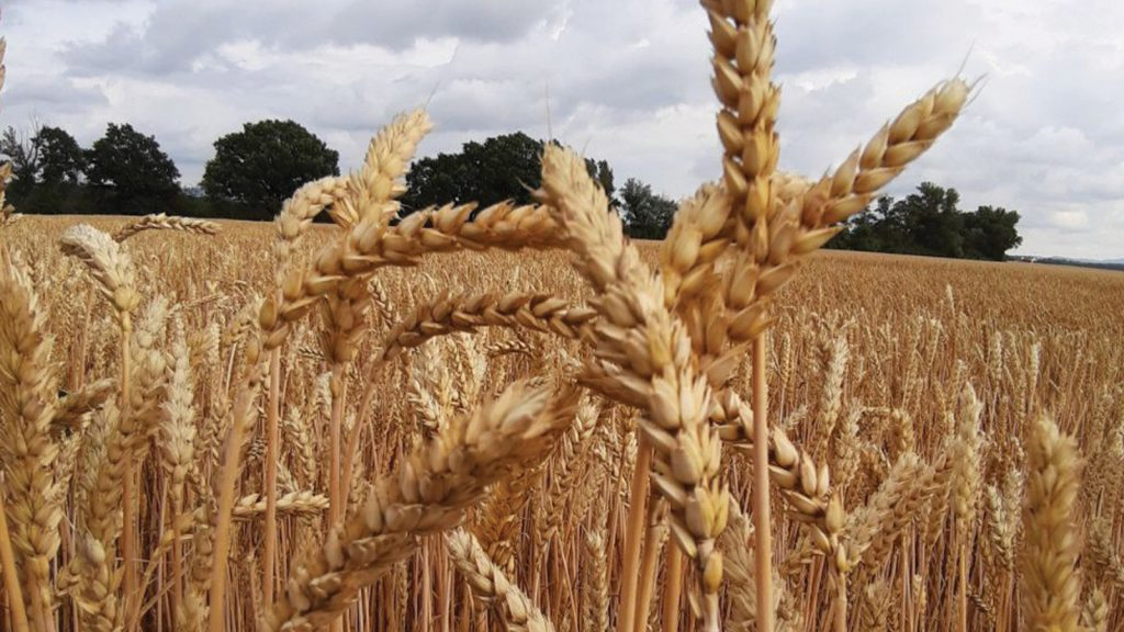 Adisseo Polonya 2019: Buğdaydaki mikotoksinlere ilişkin araştırma