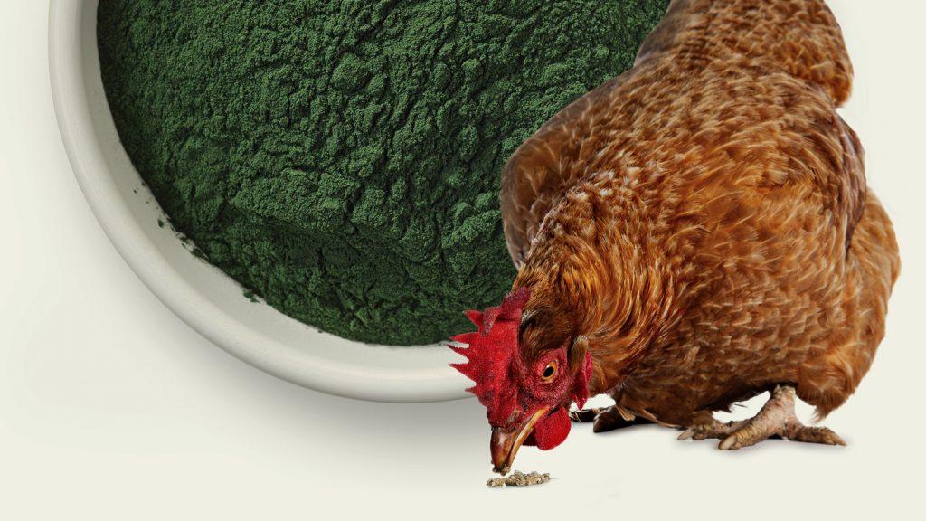 Algler, hayvan beslemede ivme kazanıyor