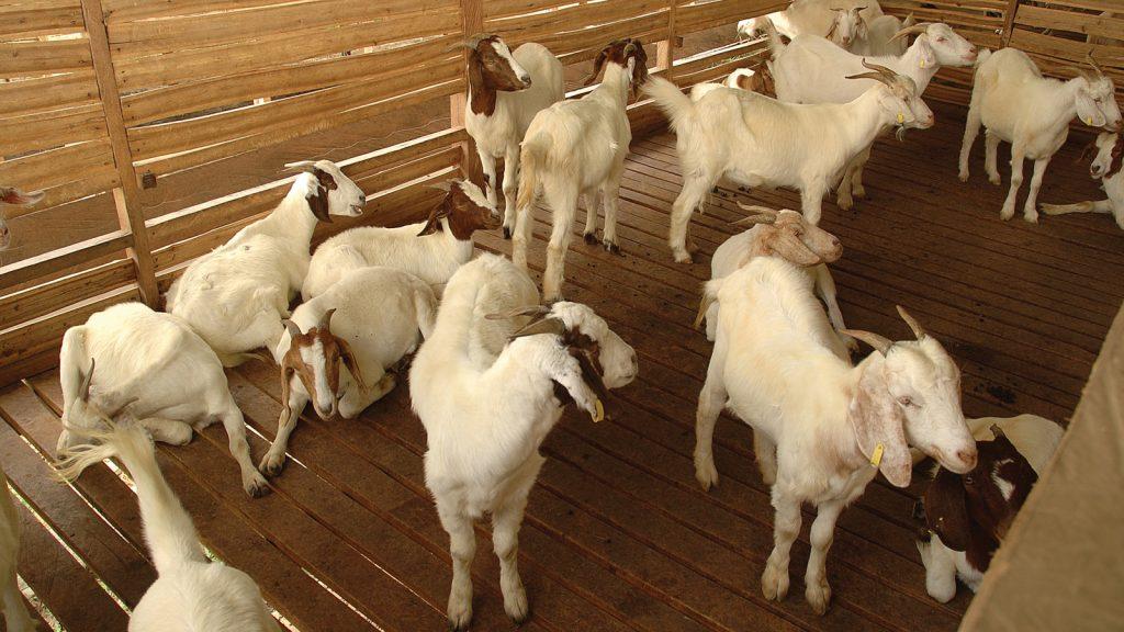 Etlik keçi yetiştiriciliğinde yeni yaklaşımlar