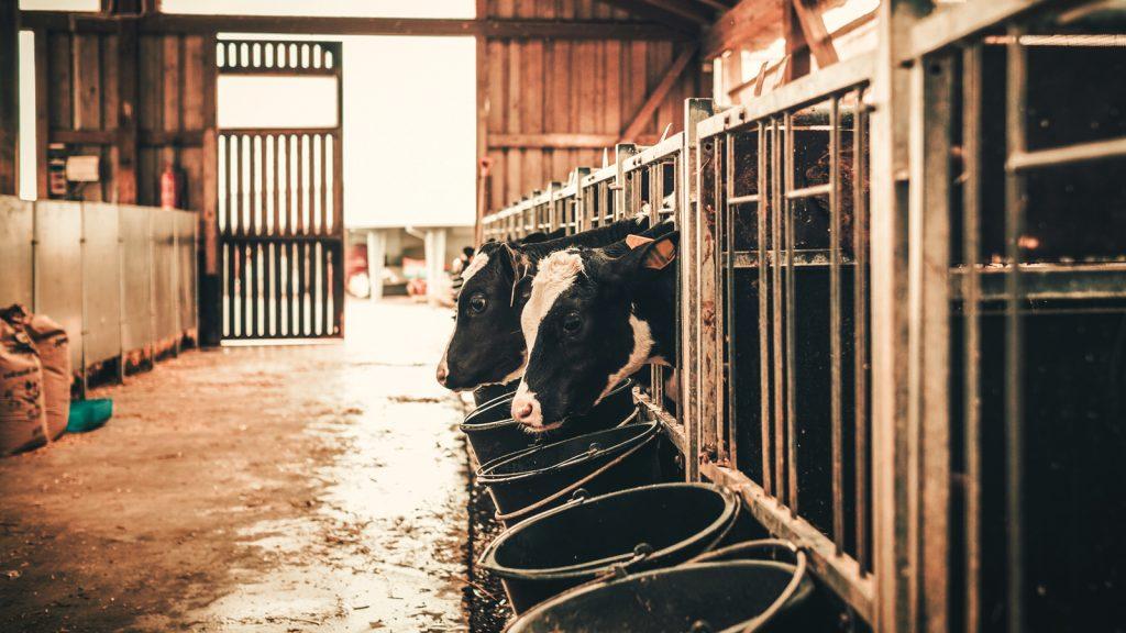 Kil, sığır diyetlerinde yağın sindirimini artırabilir