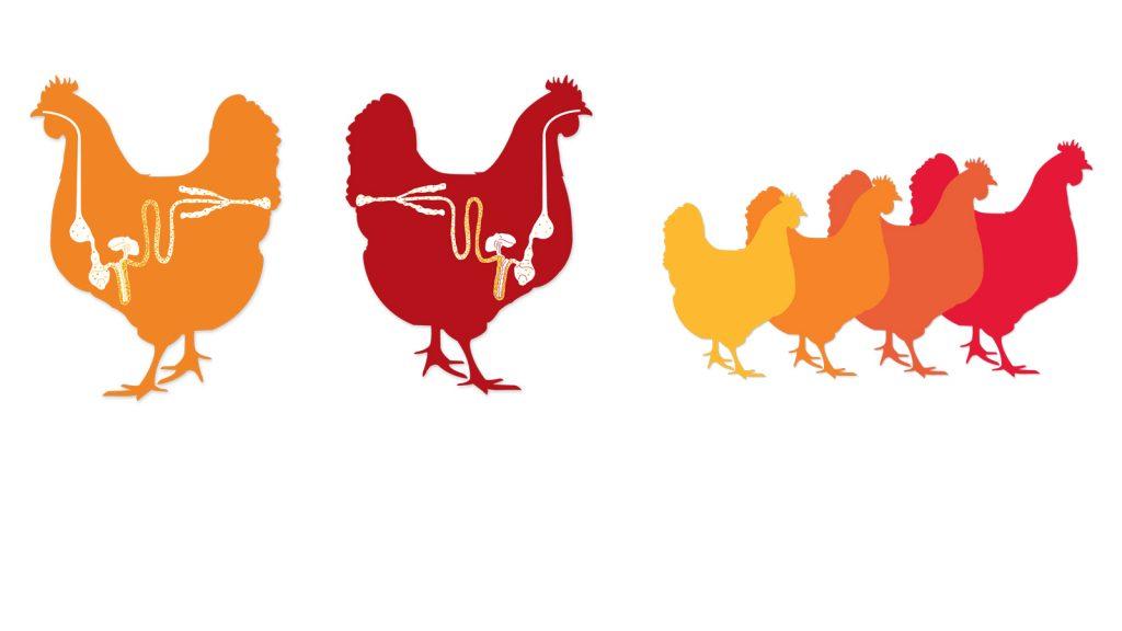Antibiyotik büyüme faktörlerine alternatif organik asitler ve esansiyel yağlar