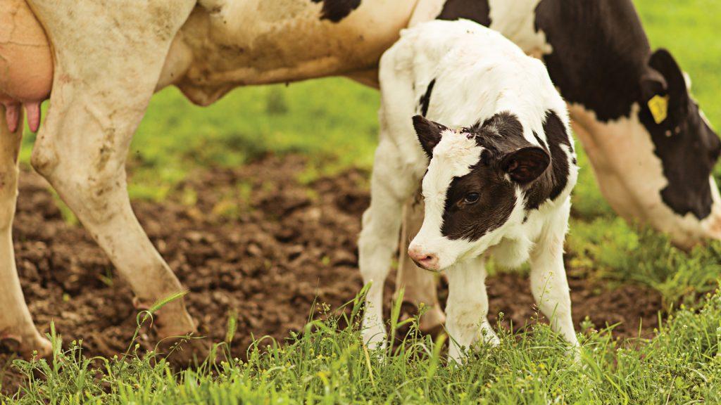 Buzağı beslemede süt ikame yemi kullanımı – Bölüm 1