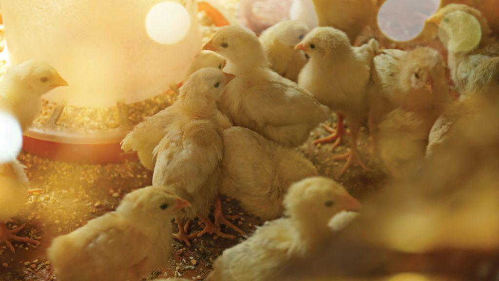 Hayvan besleme ile insan sağlığı arasındaki güçlü bağ; D vitamini