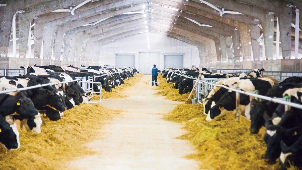Geçiş dönemi süt ineklerinde negatif enerji dengesi ve metabolik hastalıklar ilişkisi