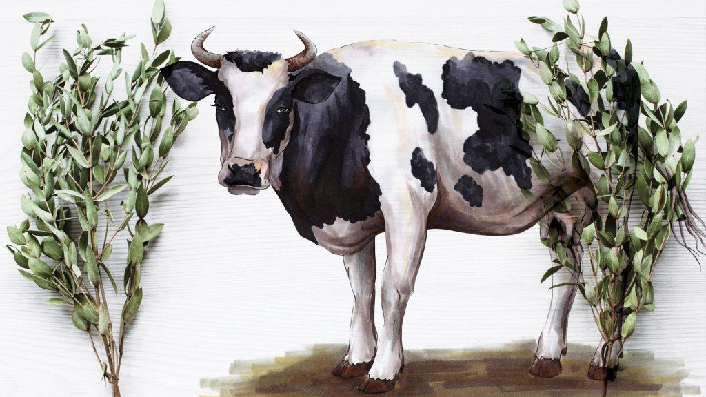 Okaliptüs ekstratı, süt buzağılarında metan miktarını azaltıyor