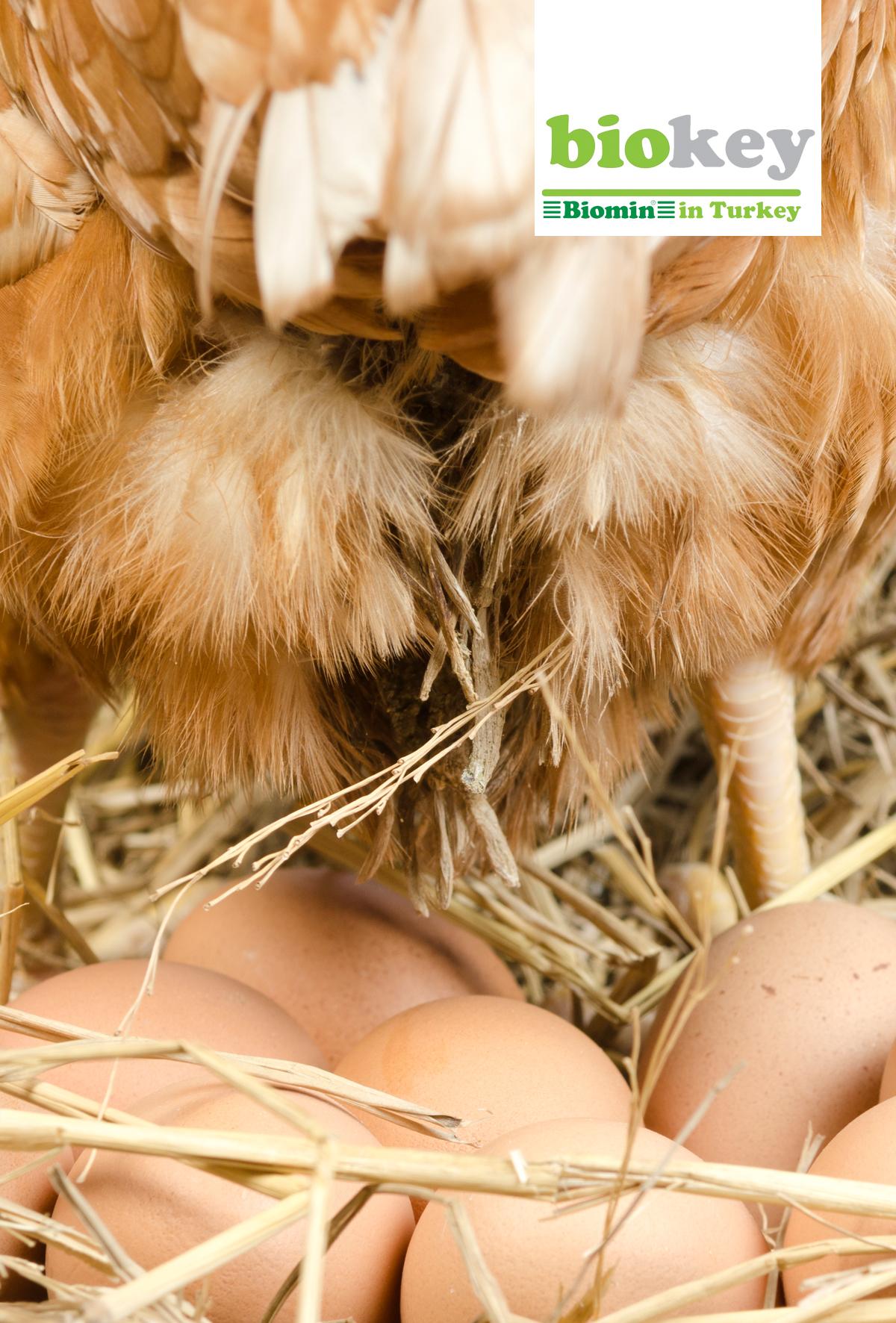 Yumurtacı tavuklarının bağırsak sağlığı için karlı ve koruyucu bir yaklaşım