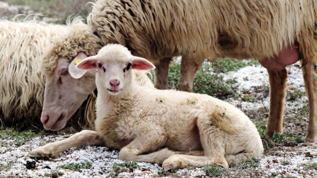 Koyunlarda embriyonik ölümlere neden olan enfeksiyöz ajanlar