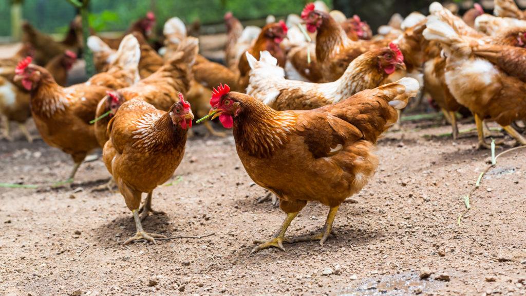 Kümes hayvanlarında delta koronavirüs yayılımı doğrulandı