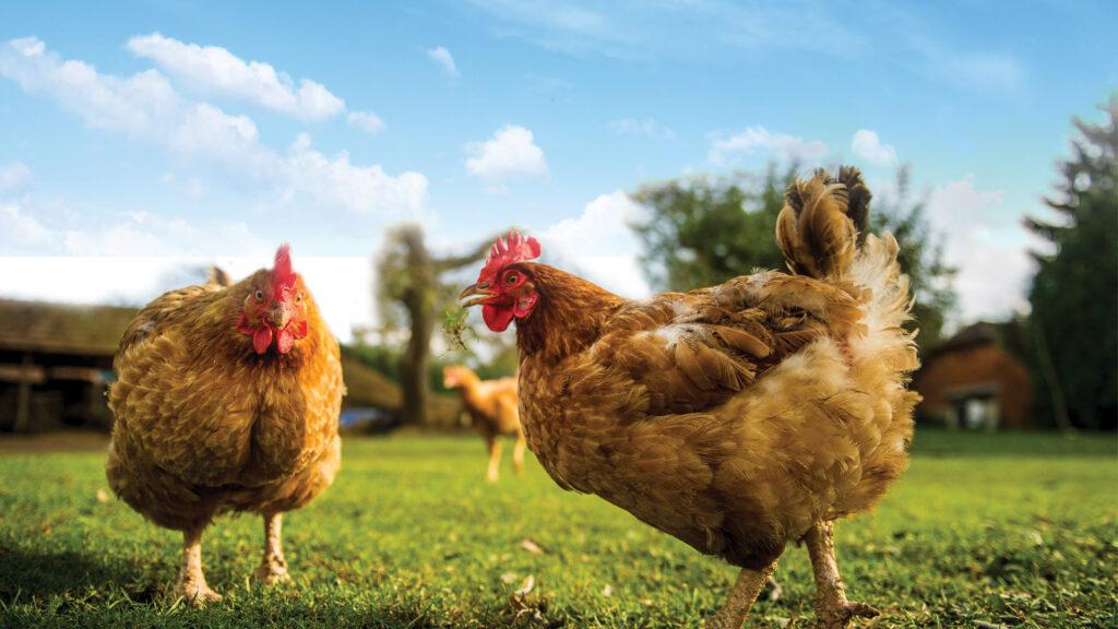 Sıcak stresi ve yumurta kalitesi