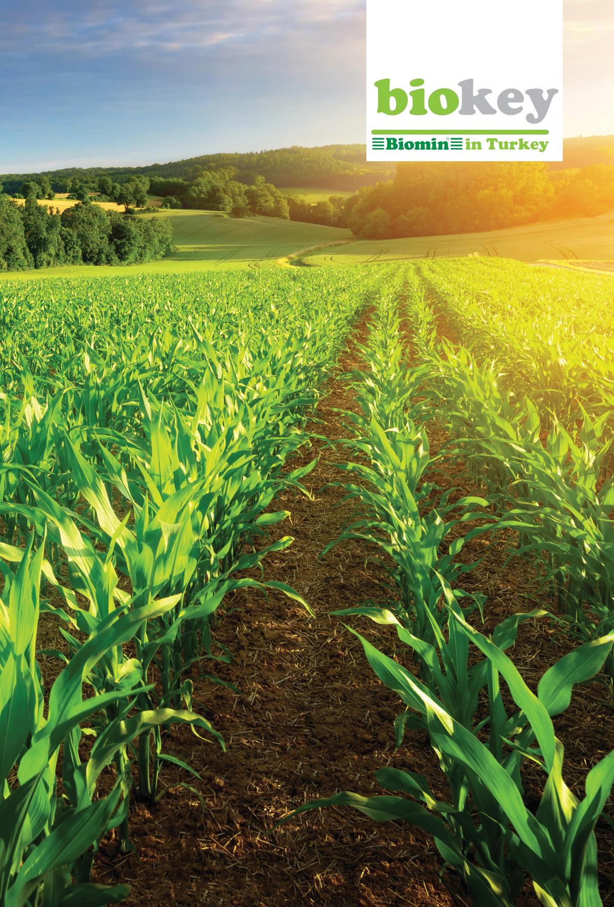 Avrupa'da Mısır ve Buğday için Mikotoksin Tahmini: 2020 Hasadı