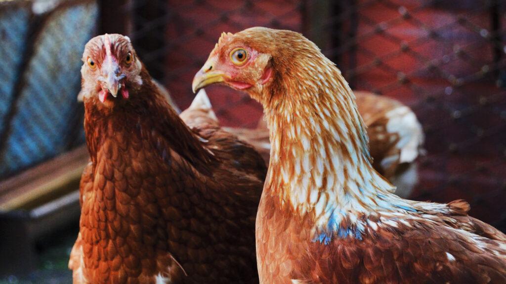 Çin, Brezilya'dan kümes hayvanı ithalatını askıya aldı