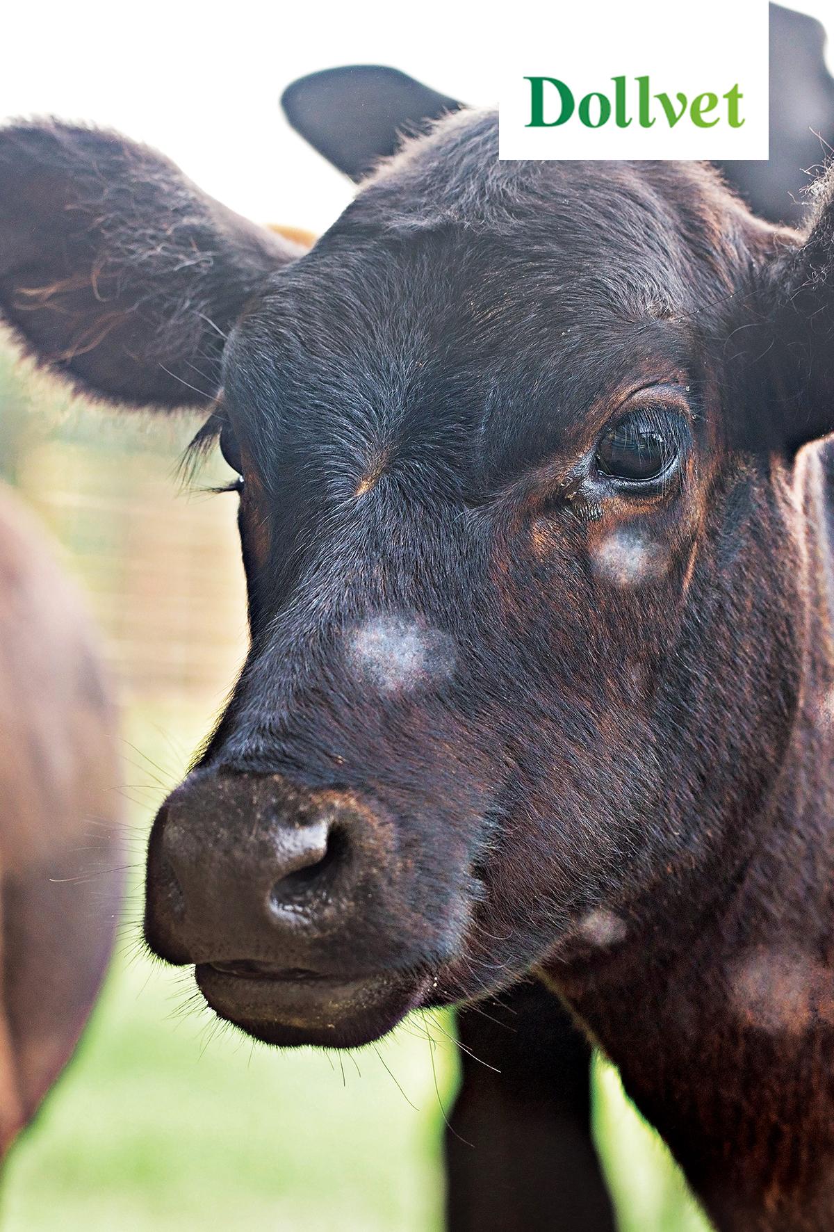 Sığırlarda Trichophyton verrucosum enfeksiyonu