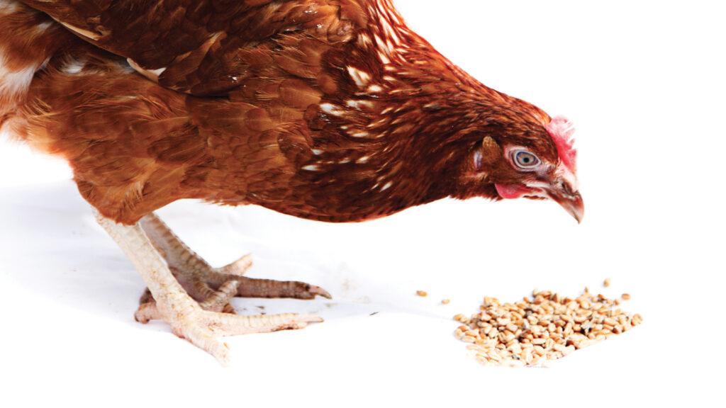 Kanatlı hayvanlar için vitamin takviyesinin faydaları