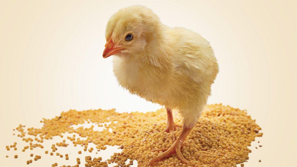 Kanatlı hayvanlarda E vitamini takviyesi faydaları