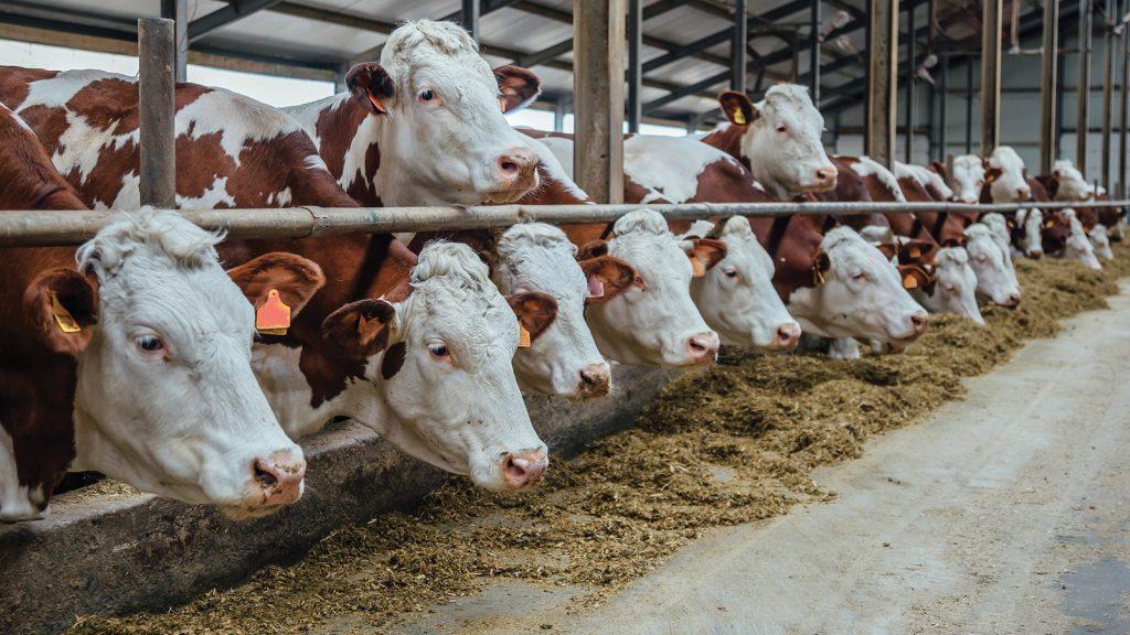 Sütçü işletmelerde meme sağlığı yönetimi
