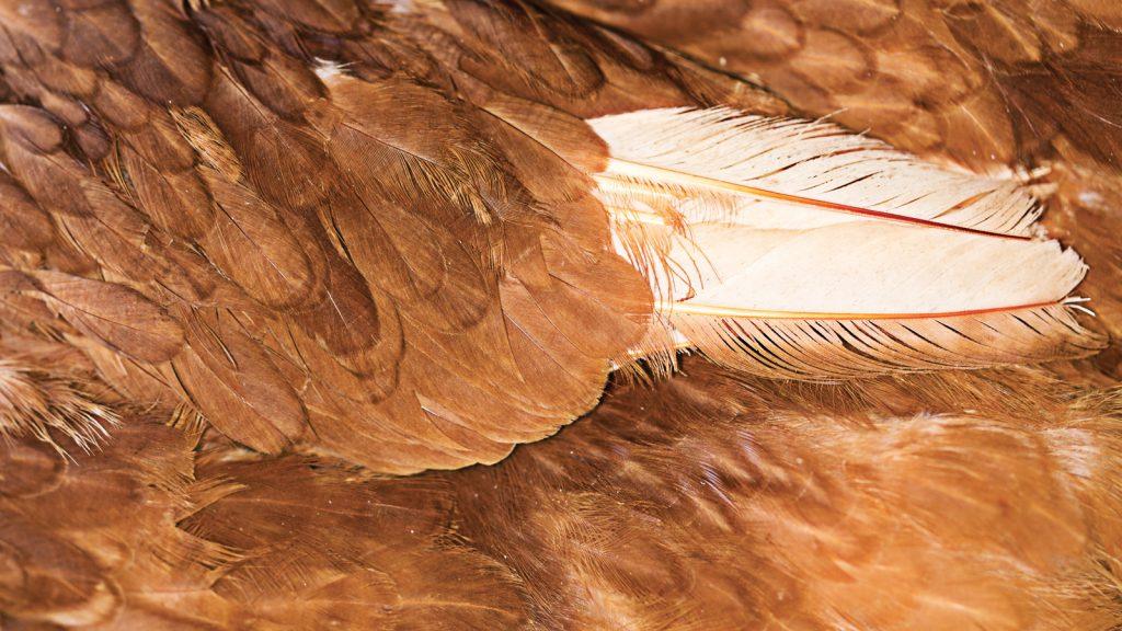 Milyonlarca ton tavuk tüyü atığını gıdaya çevrilebilmek mümkün mü?