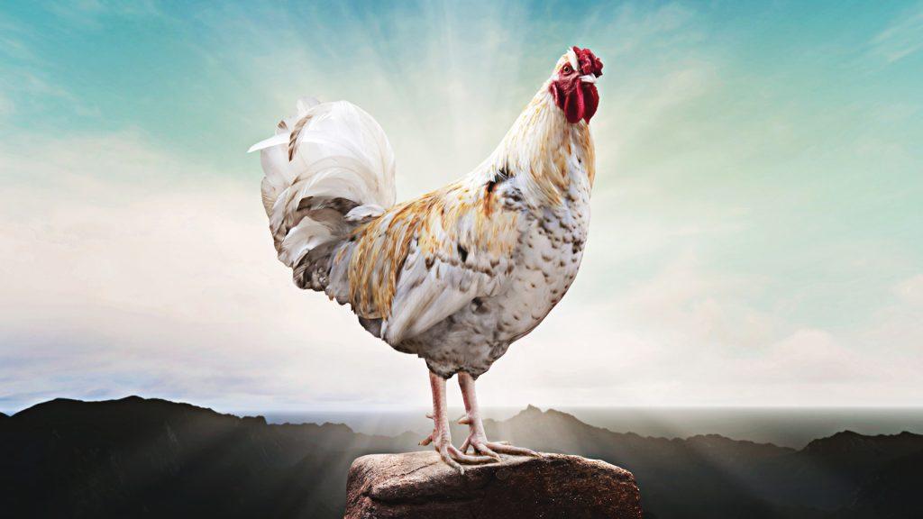 Yüksek rakımda tavuk yetiştiriciliği
