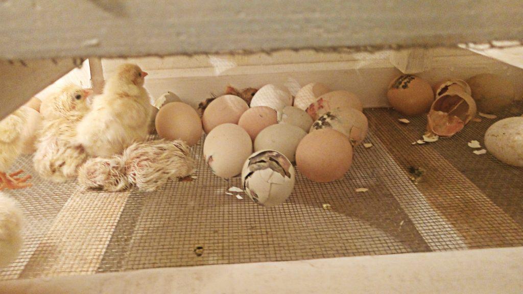 Kuluçka yumurtalarının saklanması ve sanitasyonu