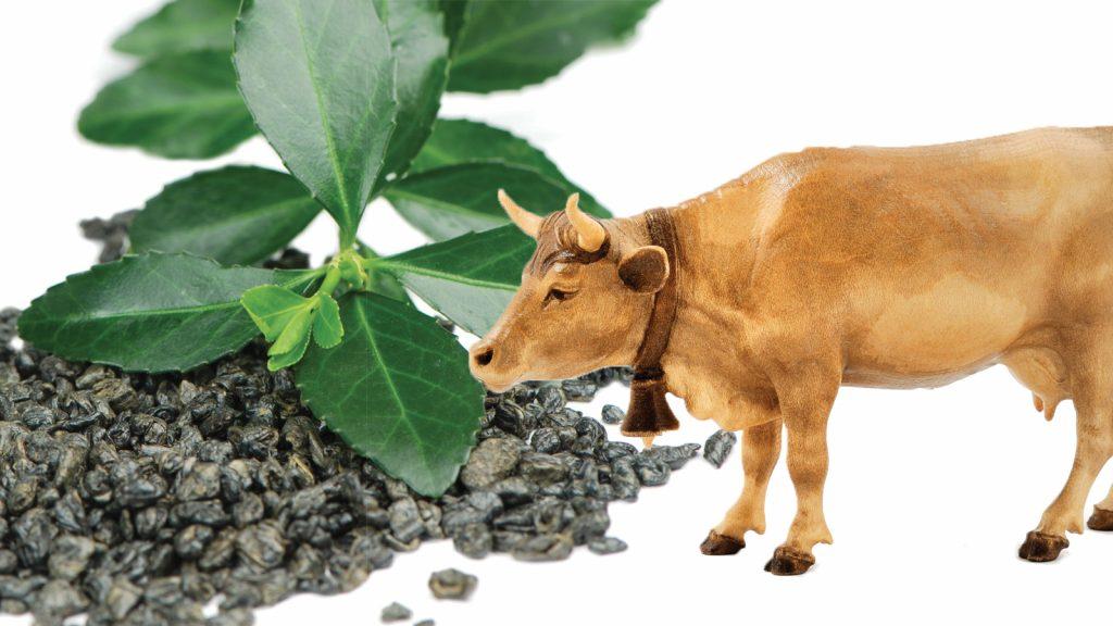 Yeşil çay ve kekik, ineklerin rasyonlarında nasıl bir rol oynar?