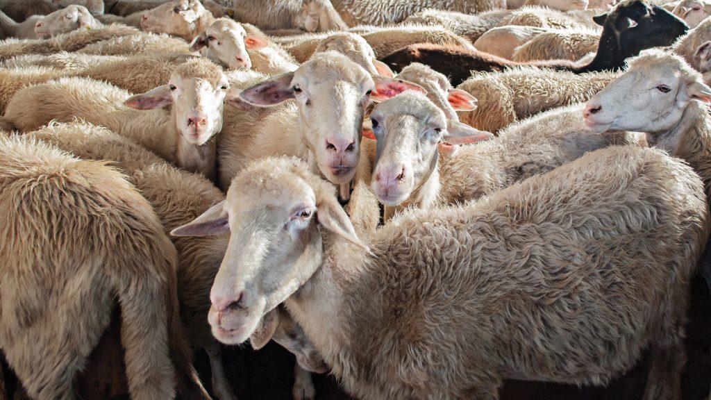Koyunlarda Pasteurella pneumonisinin etkileri