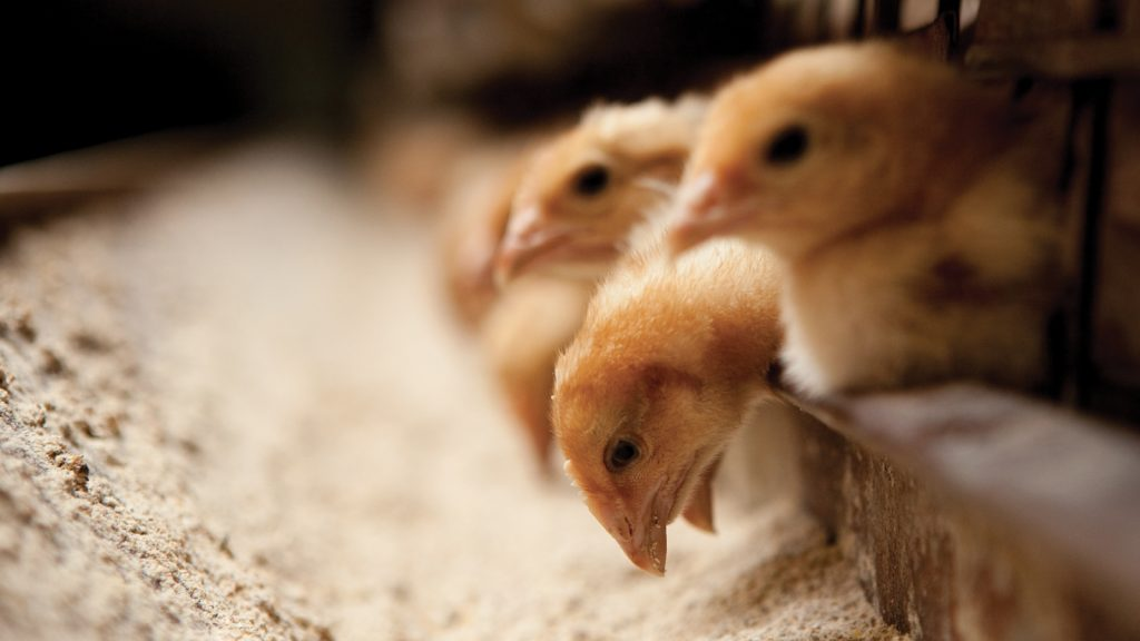 Etlik civcivlerde hastalığı en aza indirmek için uçucu yağlar