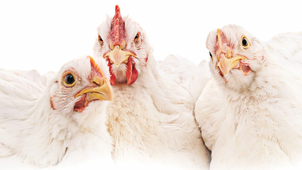 Vegan kümes hayvanları, üreticiler için bir tehdit mi?