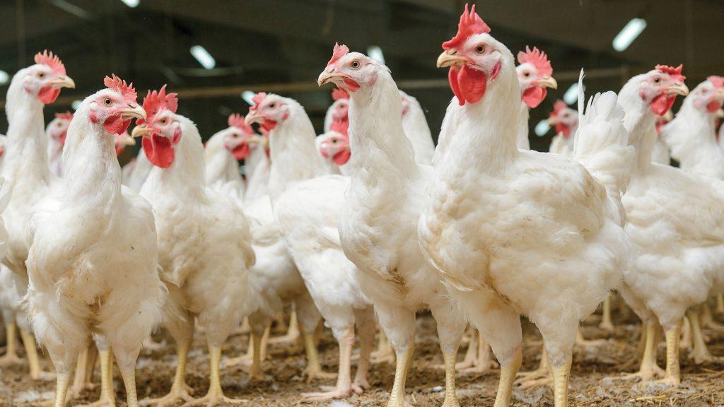 Hayvanların sağlıklı gelişimine odaklanan iz mineral: Intellibond