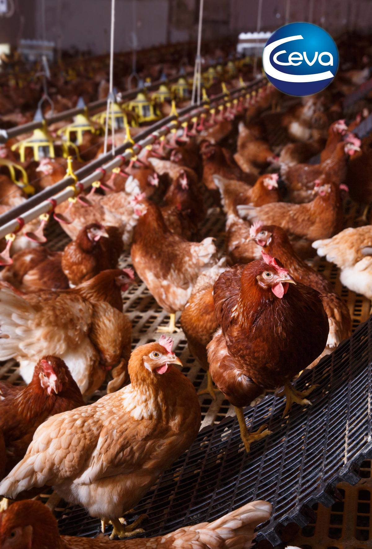 Yumurtacılarda Gumboro hastalığı kontrolü ve zorlukları Bölüm I