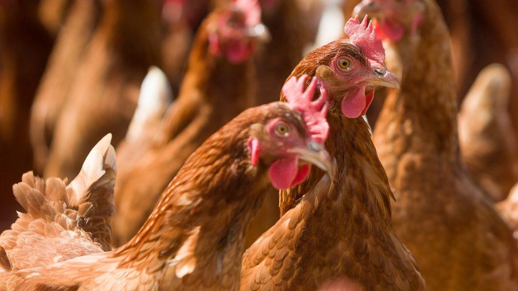 Yumurtacılarda Gumboro hastalığı kontrolü ve zorlukları Bölüm II
