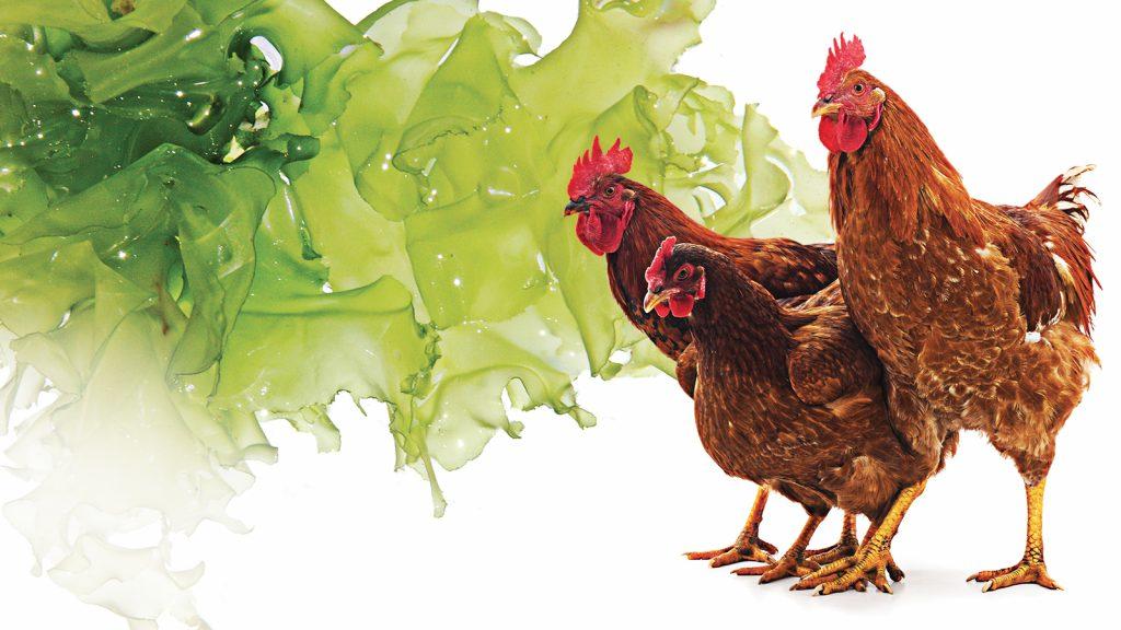 Alglerin kanatlı sektörüne katkısı