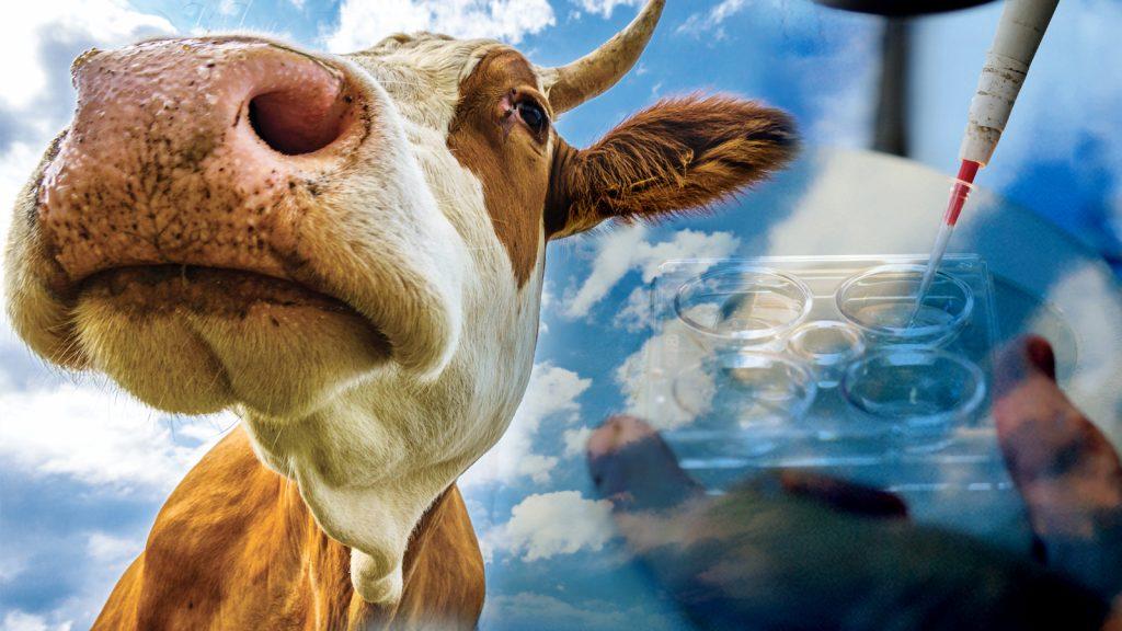 Rus hayvancılık sektörünü dönüştüren genetiği değiştirilmiş inekler