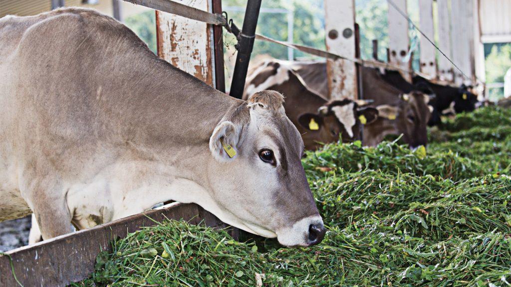 Ruminant beslemesinde korunmuş yağların kullanımı